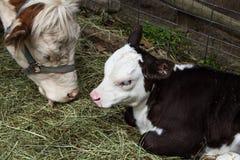 Fermez-vous de la jeune vache à veau et à mère Photographie stock libre de droits