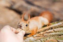 Fermez-vous de la main d'adultes alimentant l'écureuil drôle pelucheux affamé mignon avec la noix dans un danger de forêt d'être  Photos libres de droits