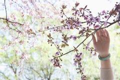 Fermez-vous de la main de la femme touchant une branche avec les fleurs de cerisier roses en parc pendant le printemps Photo stock