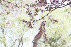 Fermez-vous de la main de la femme touchant une branche avec les fleurs de cerisier roses en parc pendant le printemps Photos libres de droits