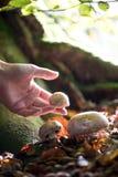 Fermez-vous de la main sélectionnant les champignons sauvages dans la région boisée images stock