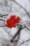 Fermez-vous de la montagne Ash Berries sur la branche horizontale Photographie stock libre de droits