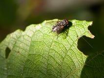 Fermez-vous de la mouche de chair simple sur le macro cairn de Sarcophaga de feuille verte Images stock