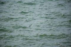 Fermez-vous de la mouette simple planant en air au-dessus de la surface azurée de la mer onduleuse photo stock