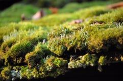 Fermez-vous de la mousse d'arbre Photographie stock libre de droits