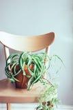 Fermez-vous de la plante en pot d'intérieur sur la chaise en bois Photo stock