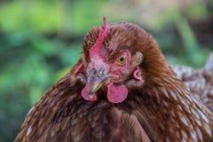 Fermez-vous de la position principale de hen's sur la basse cour rurale Support de poulet sur la cour de grange Photo stock