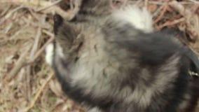 Fermez-vous de la race de chien que le chien de traîneau se repose en hiver dehors banque de vidéos