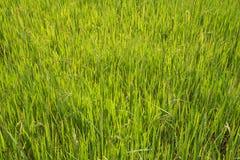 Fermez-vous de la rosée de matin sur le gisement de riz Images stock