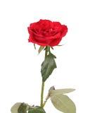 Fermez-vous de la rose de rouge. Photographie stock libre de droits