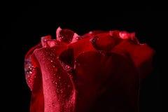 Fermez-vous de la rose de rouge avec des gouttelettes de rosée, éclairage dramatique sur le bla photos libres de droits