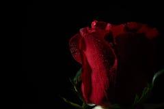 Fermez-vous de la rose de rouge avec l'éclairage dramatique sur le fond noir images stock