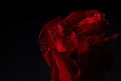 Fermez-vous de la rose de rouge avec l'éclairage dramatique sur le fond noir image stock