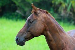 Fermez-vous de la tête de cheval mâchant l'herbe Images stock