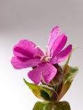 Fermez-vous de la tête de fleur de la fleur de rose de ressort dans le studio Photos stock