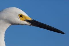Fermez-vous de la tête de héron de blanc neigeux avec les taches jaunes d'élevage Photos libres de droits