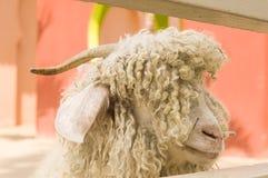 Fermez-vous de la tête des moutons Photographie stock