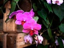 Fermez-vous de la tige blanche et rose de fleur d'orchidée Photos stock