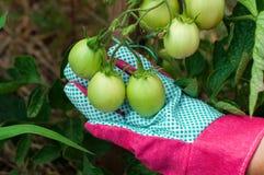 Fermez-vous de la tomate verte photo libre de droits
