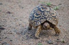 Fermez-vous de la tortue de marche photo libre de droits