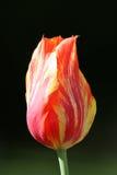 Fermez-vous de la tulipe rouge et jaune Photo libre de droits
