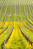 Fermez-vous de la tulipe turque jaune par la vieille vigne dans le vignoble Photographie stock libre de droits