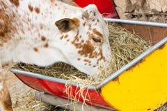 Fermez-vous de la vache mangeant le foin photographie stock libre de droits