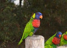 Fermez-vous de Lorikeet sur un courrier de barrière, plus d'oiseaux à l'arrière-plan photo stock