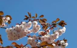 Fermez-vous de pâle lumineux - fleur rose de xérès au printemps contre un ciel bleu lumineux photographie stock