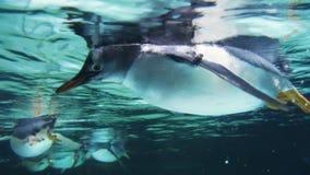 Fermez-vous de plusieurs pingouins de gentoo nageant clips vidéos