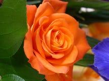Fermez-vous de Rose Orange Swirl Center Image libre de droits