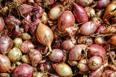 Fermez-vous de sécher le cepa du pays coloré d'allium d'oignons sur le fond net de dessiccateur Le tas de la variété sèche nature photographie stock libre de droits