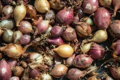 Fermez-vous de sécher le cepa du pays coloré d'allium d'oignons sur le fond net de dessiccateur Le tas de la variété sèche nature photo stock