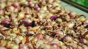 Fermez-vous de sécher le cepa du pays coloré d'allium d'oignons sur le fond net de dessiccateur Le tas de la variété sèche nature image stock