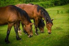 Fermez-vous de trois beaux chevaux bruns frôlant sur un pré vert Photos stock