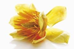 Fermez-vous de Tulip Flower Photos libres de droits