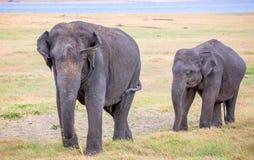 Fermez-vous des éléphants d'Asie - mère et bébé Photos libres de droits