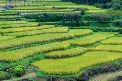 Fermez-vous des étapes de terrasses de riz avec les usines de riz mûres Images stock
