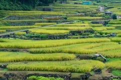 Fermez-vous des étapes de terrasses de riz avec les usines de riz mûres Photos libres de droits