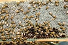 Fermez-vous des abeilles élevées occupées sur le panneau de nid d'abeilles Images stock