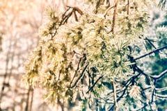Fermez-vous des aiguilles impeccables d'arbre couvertes par glace Photographie stock