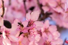Fermez-vous des arbres d'amande de floraison Belle fleur d'amande, au fond de printemps à Valence, l'Espagne, l'Europe coloré et images stock