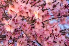 Fermez-vous des arbres d'amande de floraison Belle fleur de fleur d'amande, au fond de printemps Belle scène de nature avec photo libre de droits