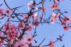 Fermez-vous des arbres d'amande de floraison Belle fleur d'amande sur les branches, au fond de printemps à Valence, l'Espagne photos libres de droits