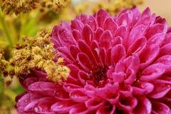 Fermez-vous des baisses roses de pluie de fleur d'aster ou de dahlia sur des pétales Photographie stock libre de droits