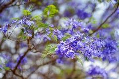 Fermez-vous des beaux arbres pourpres de jacaranda fleurissant le long des routes de la grande île d'Hawaï image stock