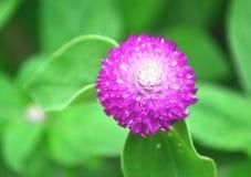 Fermez-vous des belles fleurs pourpres d'amaranthe de globe Photo libre de droits