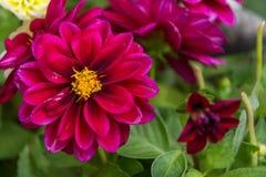 Fermez-vous des belles fleurs roses foncées Photos stock