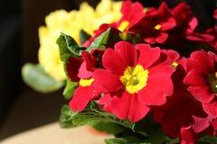 Fermez-vous des belles fleurs rouges et jaunes Photographie stock libre de droits