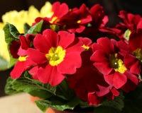 Fermez-vous des belles fleurs rouges et jaunes Photos stock